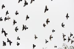 A flock of pigeons Stock Photography