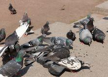 Flock of pigeons Royalty Free Stock Image