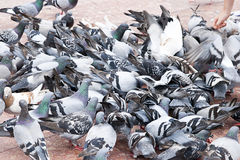 Flock of Pigeons Royalty Free Stock Photo