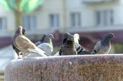 a flock of pigeons bathing and drinking water in the city`s stone fountain Royalty Free Stock Images
