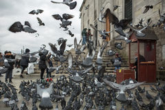 Flock of pigeons Royalty Free Stock Photos