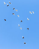 A flock of pigeons on a blue sky.  Stock Image