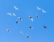 A flock of pigeons on a blue sky.  Royalty Free Stock Photo