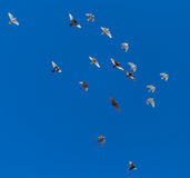 A flock of pigeons on a blue sky.  Stock Photography