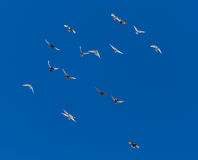 A flock of pigeons on a blue sky.  Stock Images