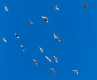 A flock of pigeons on a blue sky.  Royalty Free Stock Images