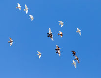 A flock of pigeons on a blue sky.  Royalty Free Stock Image