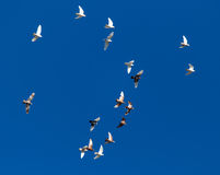 A flock of pigeons on a blue sky.  Royalty Free Stock Photography