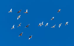 A flock of pigeons on a blue sky.  Stock Photo