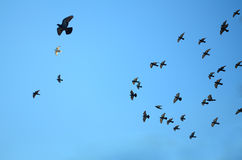 Flock of pigeons on blue sky Royalty Free Stock Photo