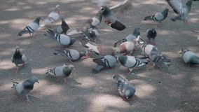Flock pigeons in on the Catalonia square. Birds life in Barcelona. Natural life stock footage
