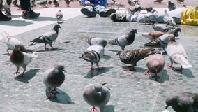 Flock pigeons in on the Catalonia square. Birds life in Barcelona. Natural life stock video footage