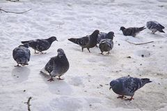 Pigeons on snow in the winter. Royalty Free Stock Photos