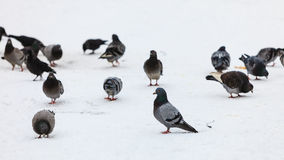 Flock of pigeons in the city street, winter time Royalty Free Stock Photos