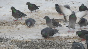 A flock of pigeons eat sunflower seeds on the ground stock footage