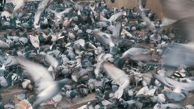 Flock of Pigeons Eating Bread Outdoors in the City Street. Lot of pigeons eat food on the street. Feeding Pigeons on the sidewalk in the park. Thousands of stock video footage