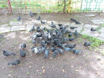 A flock of pigeons eating on the ground in the city yard Royalty Free Stock Photography