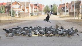 Flock of pigeons eating millet in the urban park stock video