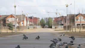 Flock of pigeons eating millet in the urban park stock footage