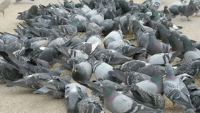 Flock of pigeons eating millet in urban park. Outdoors stock video footage