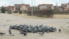 Flock of pigeons eating millet in urban park stock video