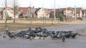 Flock of pigeons eating millet in the urban park. Outdoors stock footage