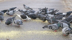 Flock of pigeons eating millet in the urban park. Outdoors stock video