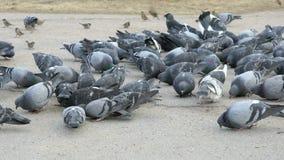 Flock of pigeons eating millet in urban park. In spring stock video