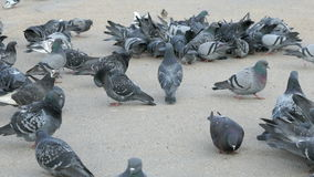 Flock of pigeons eating millet in urban park. In spring stock video footage