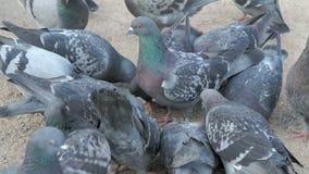 Flock of pigeons eating millet in urban park stock footage