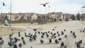 Flock of pigeons eating millet in urban park. VELIKIY NOVGOROD, RUSSIA - MART 22, 2017: Flock of pigeons eating millet in urban park outdoors stock video footage
