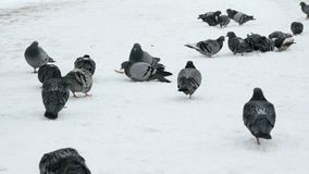 Flock of pigeons eating switchgrass in park. Flock of pigeons eating switchgrass in the urban park in cold winter outdoors stock video footage