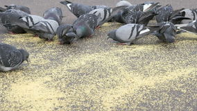 Flock of pigeons eating switchgrass in park stock video