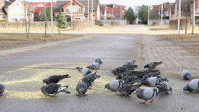 Flock of pigeons eating switchgrass in park. Flock of pigeons eating switchgrass in the urban park outdoors stock video footage