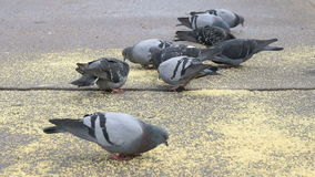 Flock of pigeons eating switchgrass in park stock video footage
