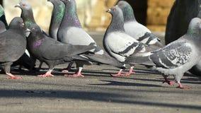 Flock pigeons eating. Urban pigeons family sunny street stock footage