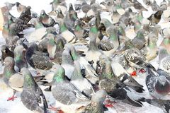 Flock of pigeons feeding Royalty Free Stock Images
