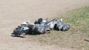 Pigeons feeding in the city Park stock photography