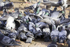 The flock of pigeons Stock Images