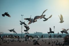 Flock of pigeons. Coming down on seaside park Stock Photography
