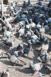 Flock of Pigeons - A flock of pigeons standing on steel plate Royalty Free Stock Image
