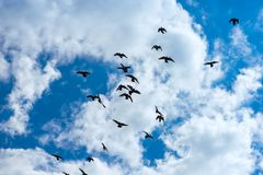 Flock of pigeons flying Royalty Free Stock Images