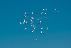 Flock Of Pigeons Flying Over The Sky Royalty Free Stock Photo