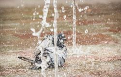 Pigeon bathing in a sidewalk fountain display in a square in Amsterdam, the Netherlands stock photo