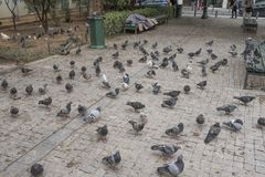A flock of pigeons and a homeless man in Athens, Greece. Many pigeons look for food beside a homeless man in a public square in Athens, Greece royalty free stock photo