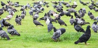 FLOCK OF PIGEONS LIVING IN THE GRASS. Royalty Free Stock Photos