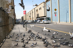 Flock of pigeons in Manhattan Royalty Free Stock Photos