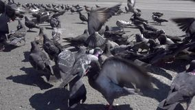 Pigeons in slow motion stock video footage