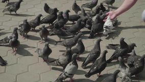 Flock of pigeons near hand feeding them. stock footage