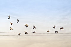 Flock of Pigeons over Power Wires Royalty Free Stock Photo